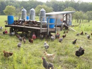 laying hens free-ranging